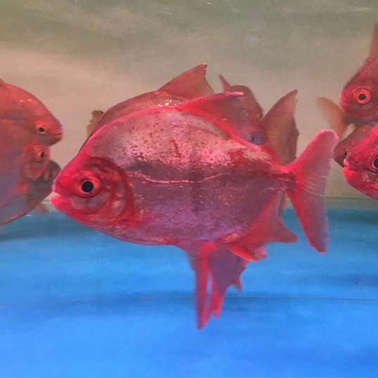 阳江玫瑰银版鱼