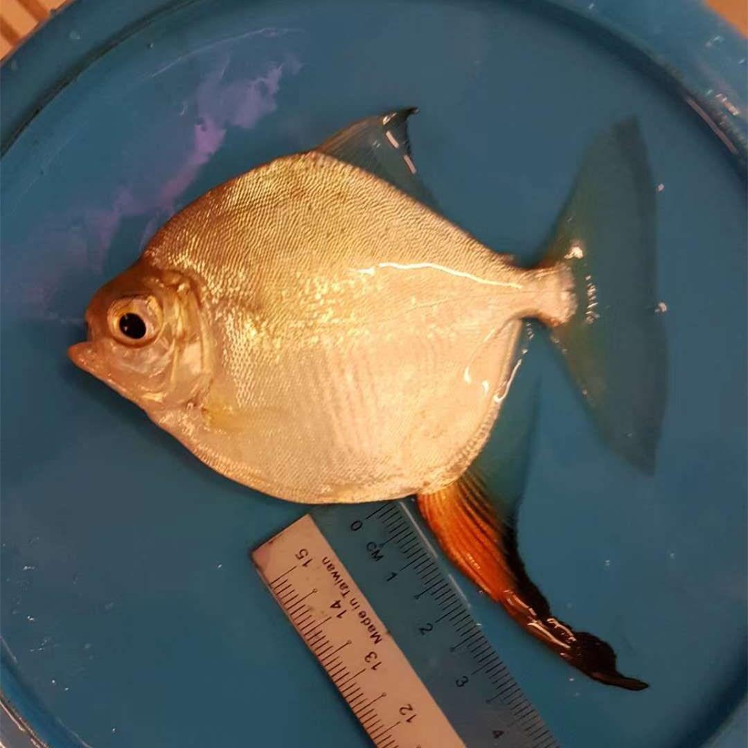 阳江红勾银版鱼